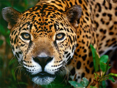 Jaguar at the sanctuary Iquitos