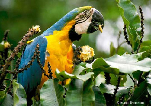 Macaws in Iquitos wildlife